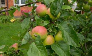 Oled sa kunagi mõelnud, et ka õunte korjamiseks on kindel tehnika olemas? Aga nii see tõepoolest on