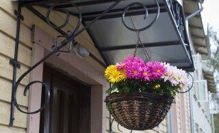Abiks kõigile lillesõpradele: just nii püsib lilleampel lopsakas ja õierikas