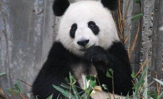 В Китае впервые сняли на видео секс панд на воле. Это довольно неэстетично
