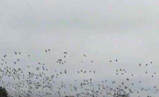 ВИДЕО | Летим зимовать! Огромная стая гусей кормится перед полетом на юг