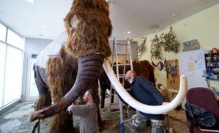 Останки мамонтов в Эстонии: рекордный 2019 год — нашли два бивня и один зуб