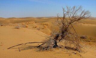"""""""Viljatutes"""" kõrbetes kasvab üllatavalt palju puid, lausa 1,8 miljardit"""