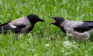 Lasnamäe julmur tapab vareseid ja kinnitab laibad koolistaadioni aia külge. Linnaosa valitsus ootab linnupiinaja kohta vihjeid