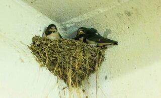 Uuring: Põhja-Ameerikas on 50 aastaga hukkunud üle veerandi lindudest