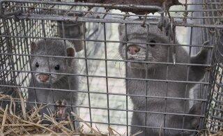 Teadlased hoiatavad: karusloomafarmid võivad esile kutsuda uue COVID-19 puhangu