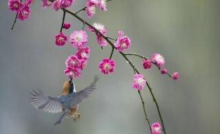 LUMMAVAD FOTOD | Hiinas puhkesid õide kirsipuud