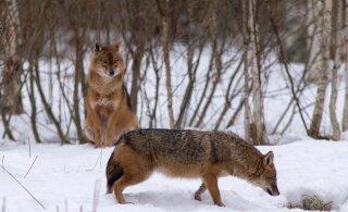 ŠAAKALID TULEVAD: Väikekiskjad on kasvav mure Eesti metsades