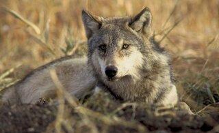 Euroopa Kohus otsustas, et liikmesriigid peavad kaitsma oma hunte