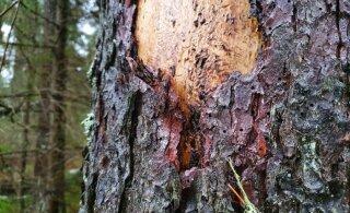 RMK võttis üraski pärast maha üle 100 000 tihumeetrit metsa