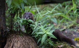 ÜRITUS | Tallinna loomaaed tutvustab laupäeval maailma ohustatuimat pisikiskjat – euroopa naaritsat