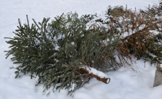 Новогодние елки жителей Кристийне станут экологически чистой энергией