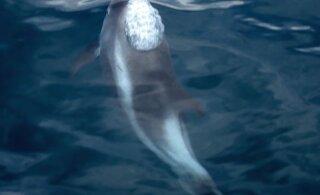INTERVJUU | Mart Jüssi selgitab, kuidas delfiin meiekandi vetesse jõuab ja siin toime tuleb