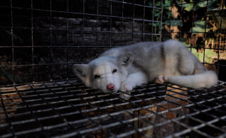 Julm ja ebavajalik tööstus ajalukku: anna oma allkiri Eesti karusloomafarmide keelustamiseks