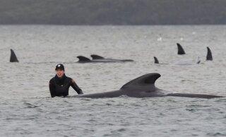 У Тасмании погибли 90 дельфинов, еще 180 застряли в мелководье