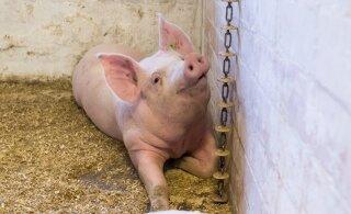 Kümnetes Eesti farmides avastati salmonellabakter. Loomadel ei ole taudi