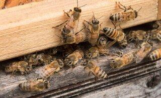 Brasiilias lamavad miljardid surnud mesilased kuhjades. Mis juhtus?
