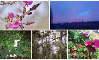FOTOD | Lugeja märkab, kuis kevadlill tärkab