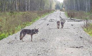 Keskkonnaagentuuri spetsialistid arutlevad: miks need hundid koeri ründavad?