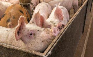 В соседних с Эстонией странах свирепствует чума свиней