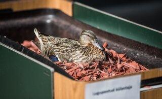 FOTOD   Tartu kuulsaim pardiema haudub oma mune taas McDonald'si lillekastis