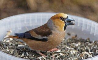 Lindudele päevalilleseemnete andmine ei ole hea mõte