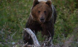 Valgat kimbutasid Venemaalt saabunud karud