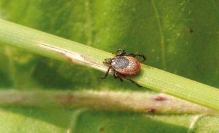 Apteeker: kuidas tunda ära ohtlikke puugihaigusi ja neist hoiduda