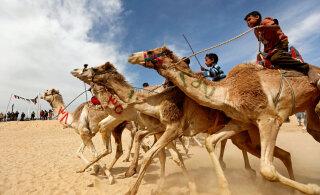 ВИДЕО: Роботы-жокеи заменили детей-наездников на верблюжьих скачках в Египте
