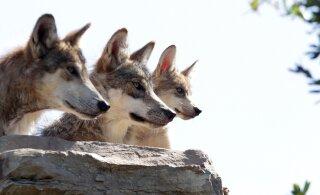 Põltsamaal murdsid hundid kolme nädalaga neli koera