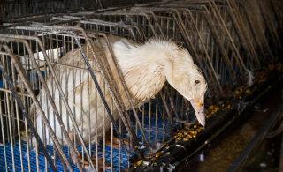 Защитники животных требуют прекратить продажу фуа-гра в Эстонии