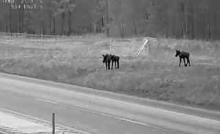 ВИДЕО   Департамент предупреждает: на новом отрезке шоссе Таллинн-Тарту много лосей