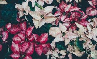 Jõulutähe päev | Kust kaunis piimalill pärineb ja miks ta jõulude ajal nii popp on