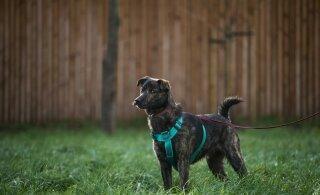 В Нарве у мужчины отобрали собаку. Злоумышленники использовали перцовый газ