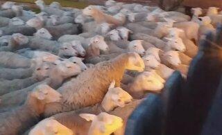 VIDEO   200 lammast tungisid omavoliliselt hoovi