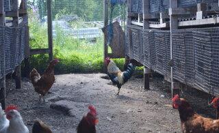Avatud talude päev | Kukk röövis küülikutelt tähelepanu