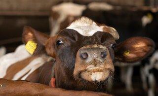Vilja Kiisler küsib, kunstnik Urmas Viik vastab: kus on lehm ja kes Marta?