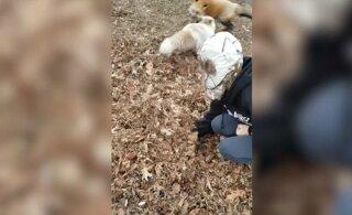 Naljakas VIDEO | Rebased sooritavad meisterlikke hüppeid otse lehehunnikusse
