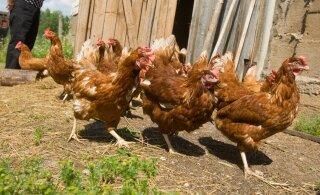 Из-за птичьего гриппа в Европе погибло более миллиона домашних птиц