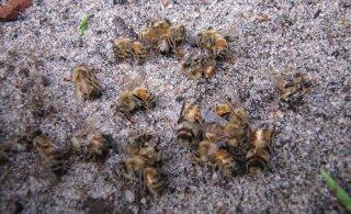 Juuli alguses hukkunud mesilaste surma põhjus jäi selgusetuks