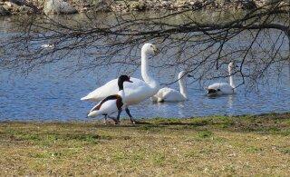 """""""Хоть у него и короткие лапки"""". Читатель RusDelfi написал стихотворение о любви селезня утки и самки лебедя"""