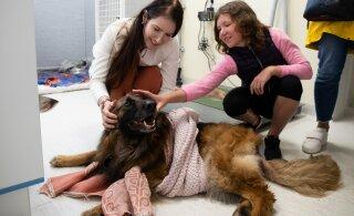 VIDEO JA FOTOD | Liigutav taaskohtumine! Laagna tee õnnetuses raskelt viga saanud koer Arina pääses haiglast koju