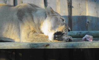 В Таллиннском зоопарке умерла львица Ксюша