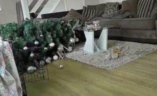 VIDEO | Iga koeraomaniku jõuluaegsest hirmust sai reaalsus: pere neljajalgne sõber tõmbas kuuse pikali!