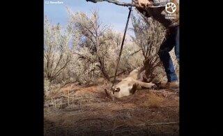 PÕNEV VIDEO | Julge mees päästab lõksu sattunud puuma