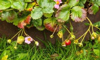 LUGEJA KÜSIB | Kuidas hoida amplimaasikaid ületalve?