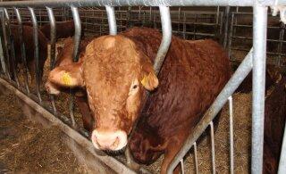 Saaremaa piimatootja meele teeb mõruks langev piimahind