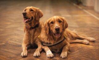 Kas koerad on monogaamsed?