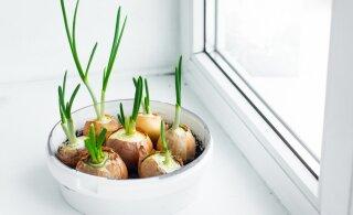 TALVEAEDNIKU NIPID | Kasvatage värsked sellerid, peedid ja sibulad oma aknalaual. Just praegu!