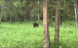 ВИДЕО | Читательница RusDelfi засняла медведя в Ляэне-Вирумаа