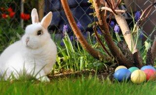 Üllatav: mis on lihavõttejänkul ülestõusmispühaga üldse pistmist?